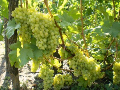 vinograd_alexa