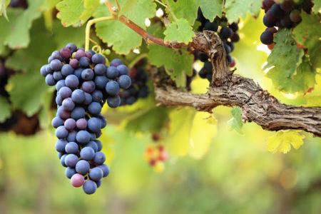 виноградные посадки