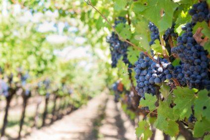 Железный купорос для обработки винограда