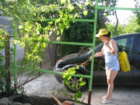 Обработка виноградника железным купоросом