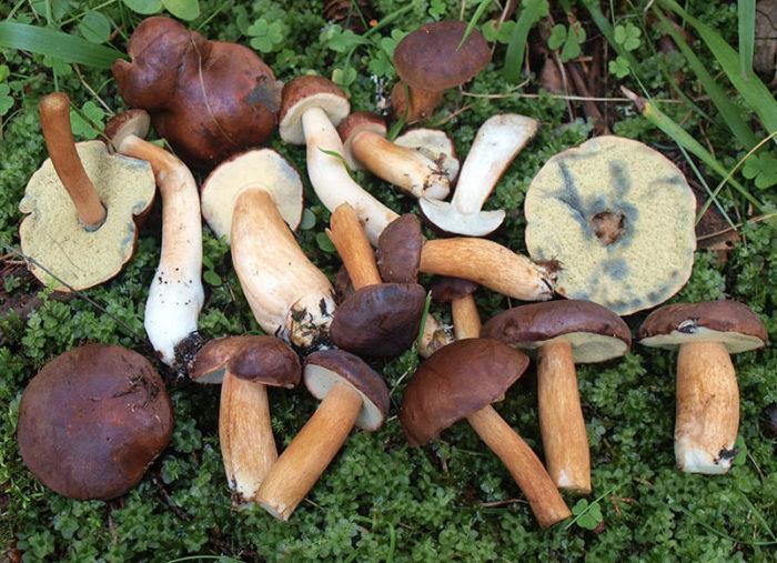 Польский гриб