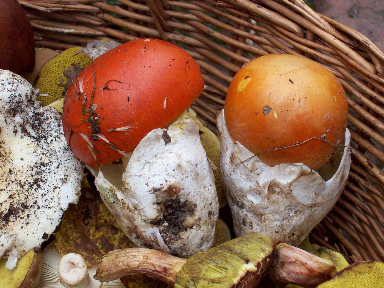 Яичный гриб