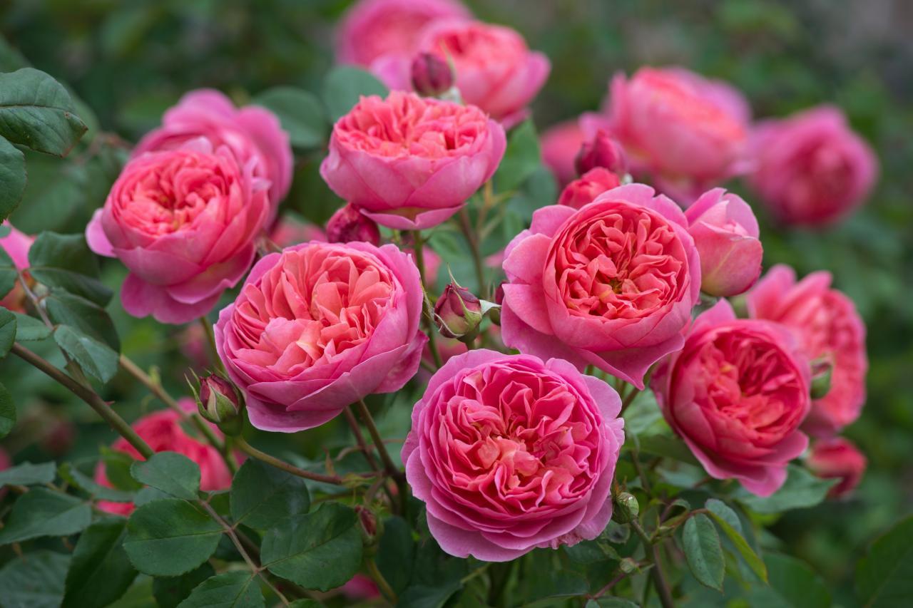 Роза кордана когда пересаживать после покупки