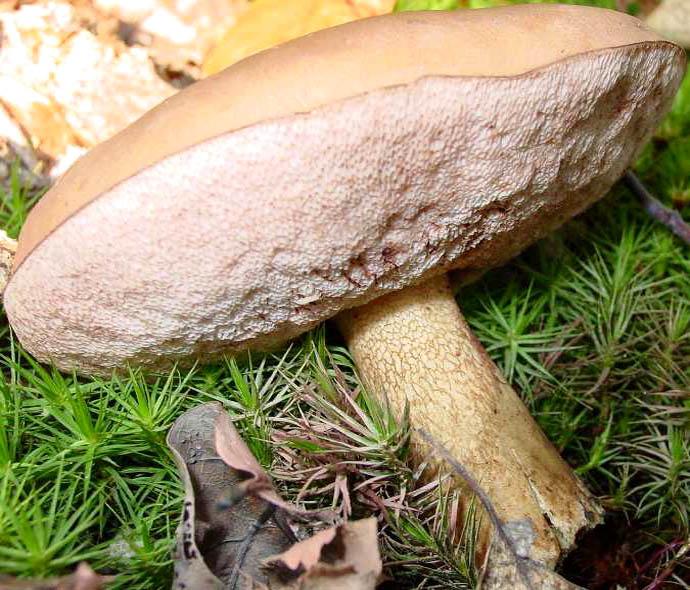Внешний вид гриба