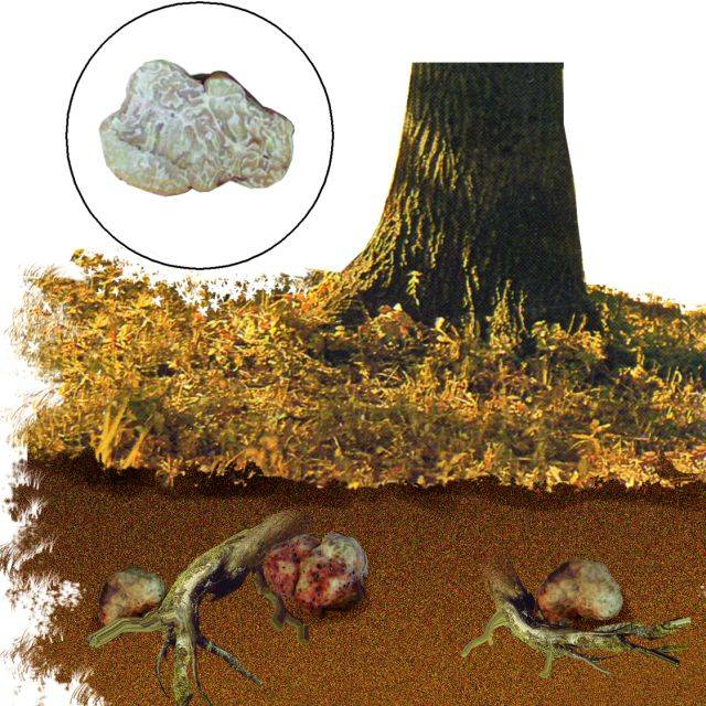 Места роста гриба