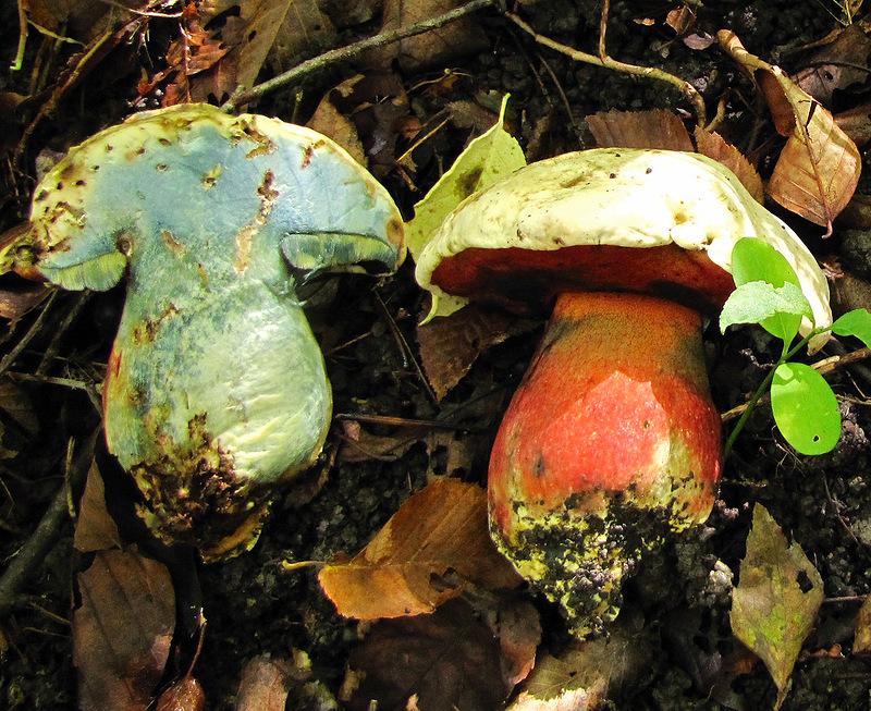 Мякоть сатанинского гриба