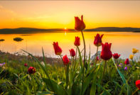 Когда и как сажать тюльпаны осенью