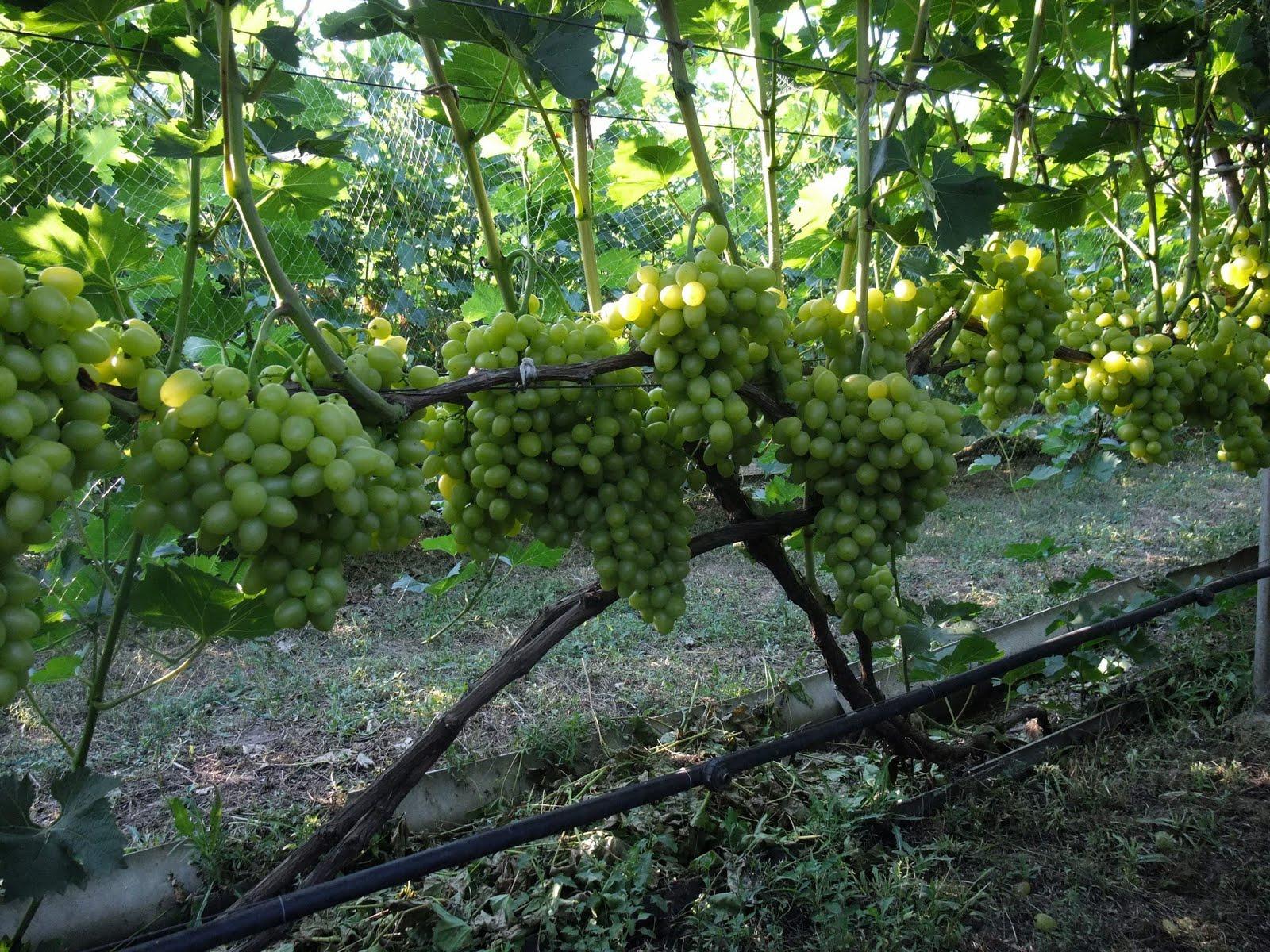 Osennyaya-privivka-vinograda.jpg
