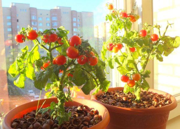 Помидоры на подоконнике: как вырастить и ухаживать дома зимой для начинающих