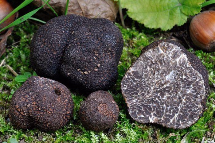 Черный перигорский трюфель