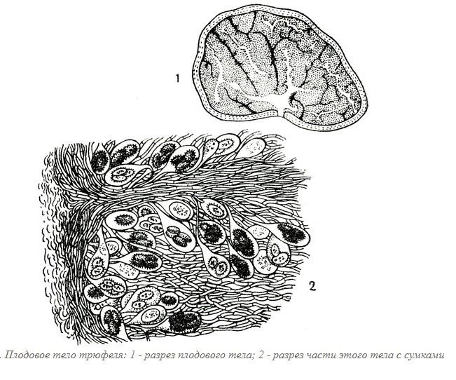 Особенности строения гриба