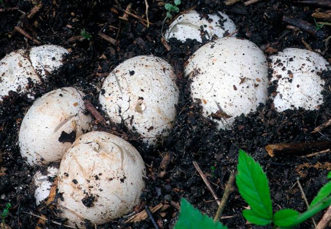 Тело молодого гриба