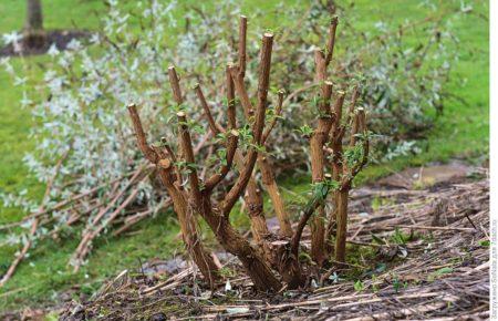 Посадка и выращивание Будлея в открытом грунте
