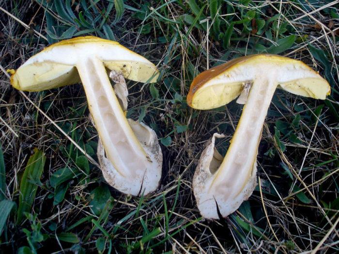 Царский гриб