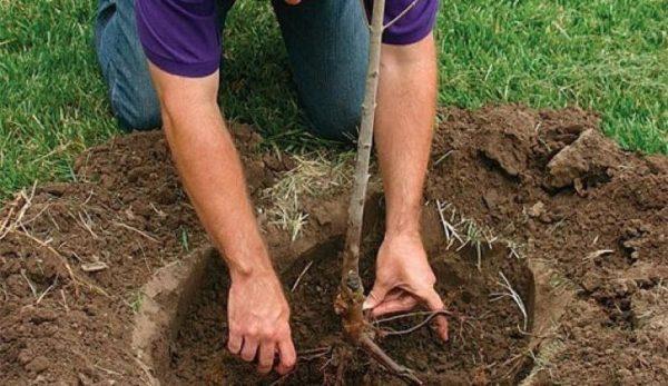 посадить черешню