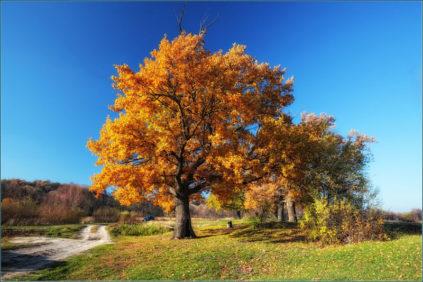 Как выглядит дуб осенью