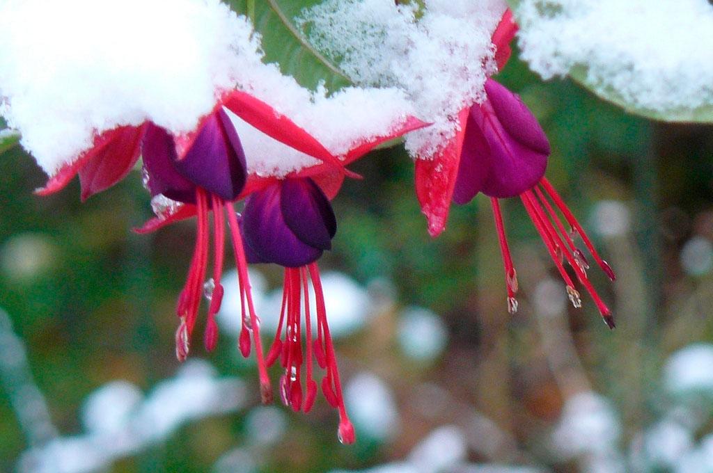 Фуксия зимой