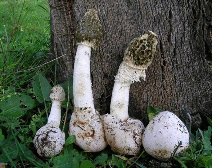 Противопоказания к применению гриба