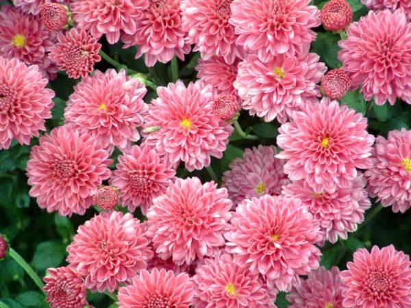 Когда пересаживать хризантемы осенью или весной — Все цветы