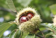 Как вырастить каштан из ореха осенью