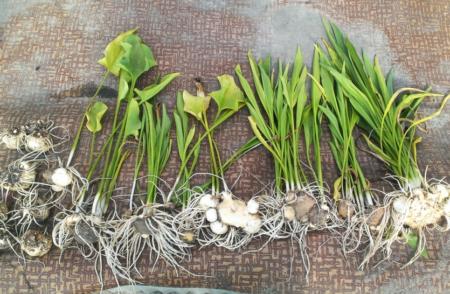 Как правильно хранить луковицы каллы зимой