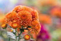 Размножение хризантемы осенью