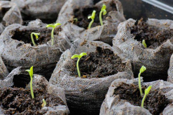 Можно ли вырастить хризантему из черенка
