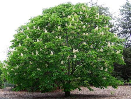 Листья каштана: описание, применение, фото. Листья каштана осенью
