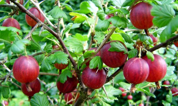 Посадка крыжовника осенью саженцами и черенками: как правильно посадить