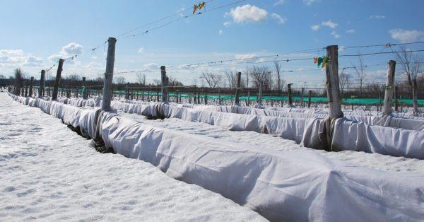 как укрыть лозу зимой