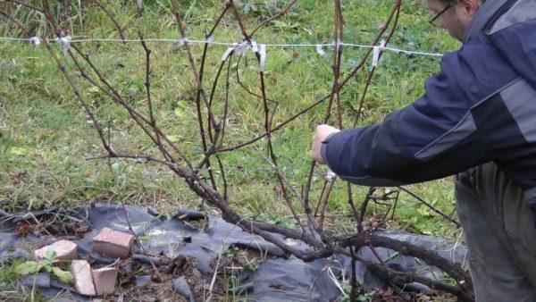 сохранить виноградную лозу зимой