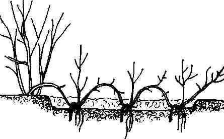 Казацкий можжевельник размножение черенками