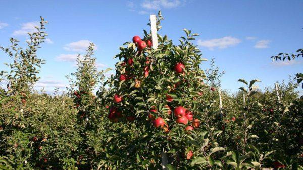 обрезка яблони осенью