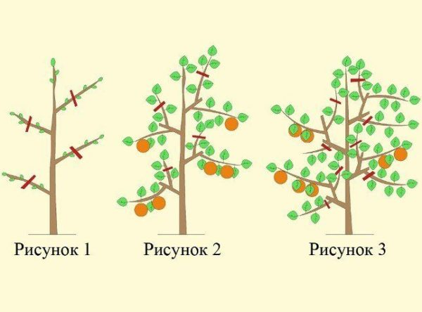 обрезка колоновидной яблони осенью
