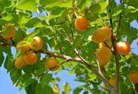 обрезка абрикоса