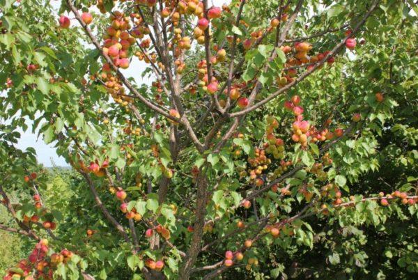 Особенности осенней обрезки абрикосового дерева