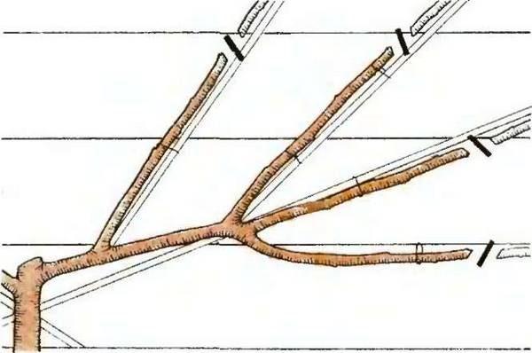 Обрезка абрикосов осенью — пошаговая инструкция
