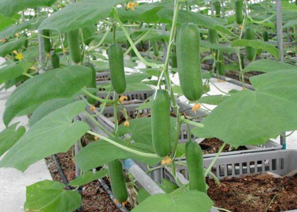 выращивание огурца в теплице зимой