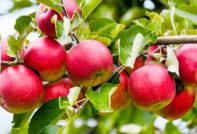 Осенние сорта яблонь