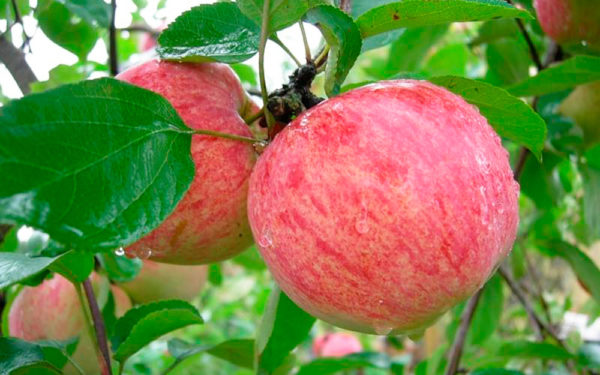 Сорт яблок осенние красные