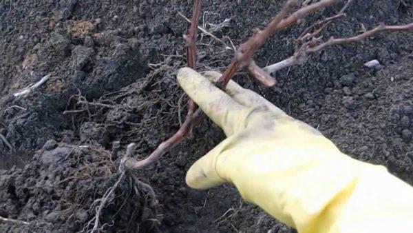 Как правильно пересадить взрослый виноград на новое место