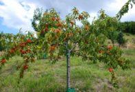 посадка персика осенью