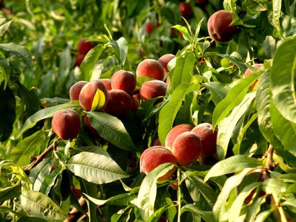 посадка и уход за персиком