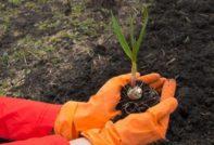 Удобрения при посадке чеснока осенью