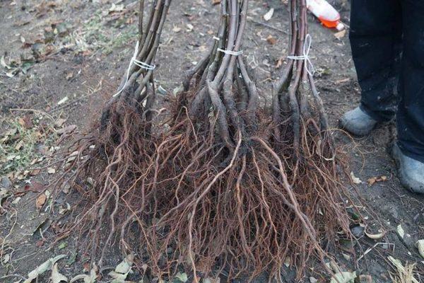 Как сажать абрикос осенью: пошаговая инструкция, посадка и уход, сроки