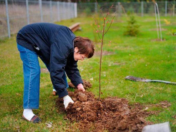 Как правильно сажать плодовые деревья осенью: сроки посадки