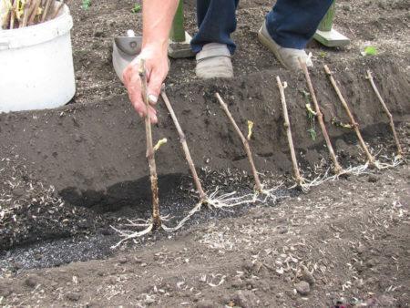 Выращивание винограда из чубуков - мой способ и отзывы о нем