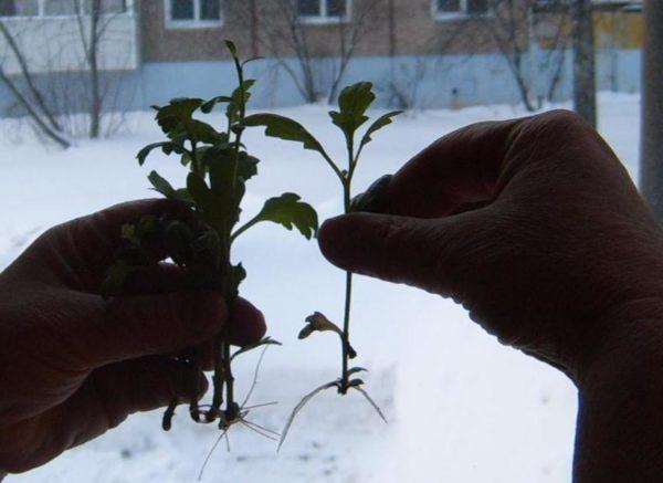 Можно ли укоренить ветку хризантемы