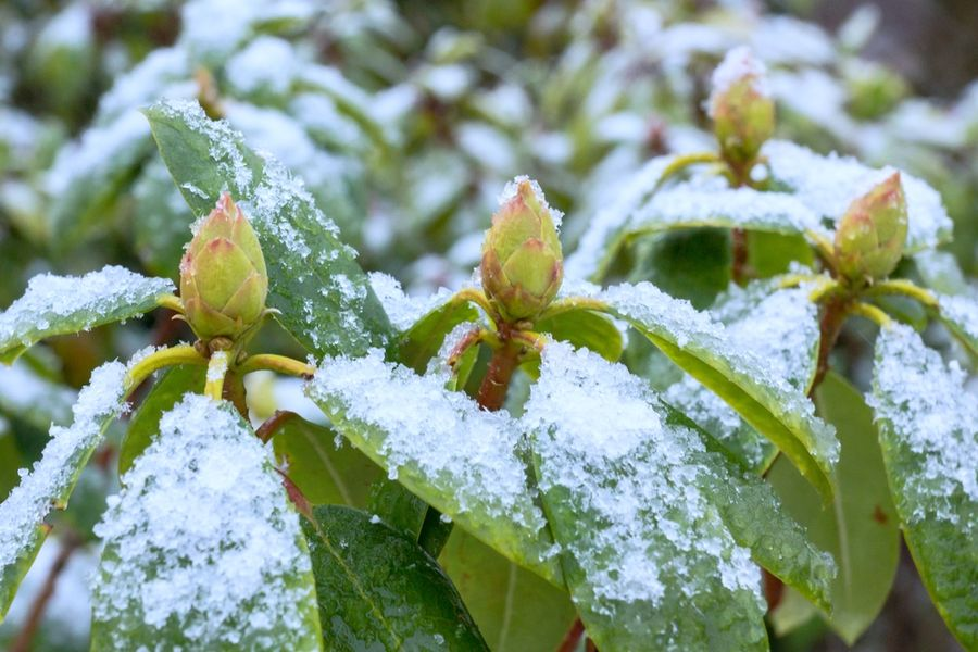 рододендрон укрыть на зиму