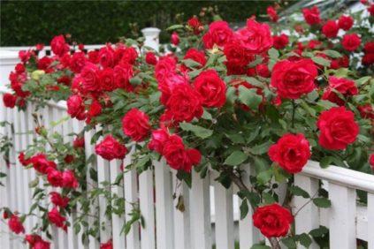 обработка роз